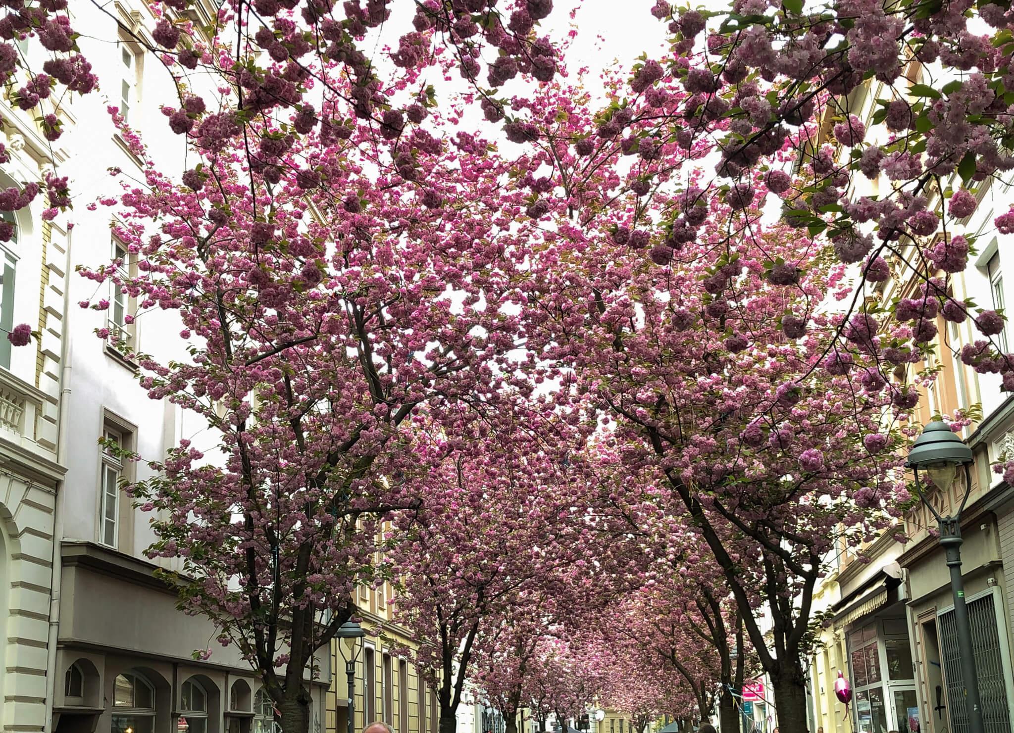 bonner kirschblüte bonn altstadt kirschblütenzeit kirschblüten sehenswürdigkeit